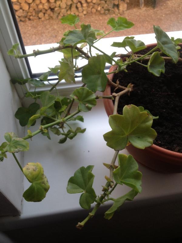 почему желтеют листья пеларгонии