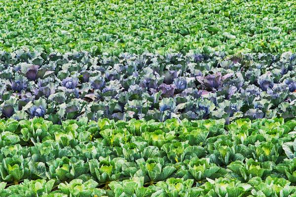Разные сорта капусты