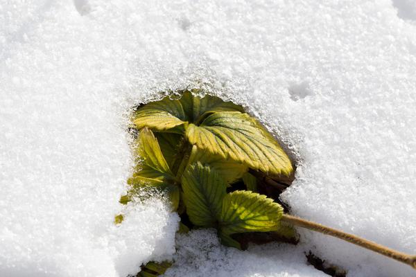 Благодаря оптическим свойствам снега почва под растениями, укрытыми снежным покрывалом, сильнее прогревается