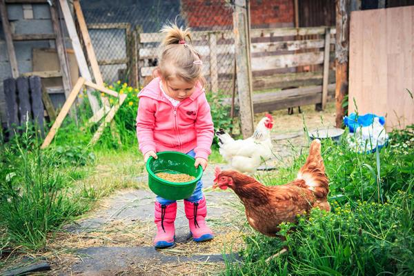 Цыплята и курицы так же различны по своим характерам, как другие домашние животные