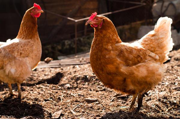 Сделайте ограждение, чтобы держать птиц подальше от ценных растений