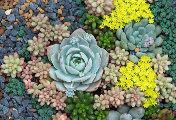 Всевозможные очитки и эффектные каменные розы нередко служат дизайнерам своеобразными живыми красками