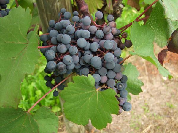 Амурский виноград
