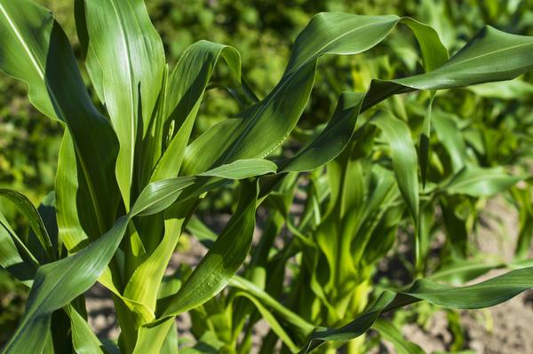 Кукуруза - индикатор недостатка магния