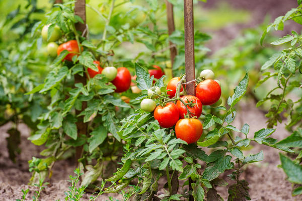 Кукуруза и помидоры - индикаторы нехватки азота