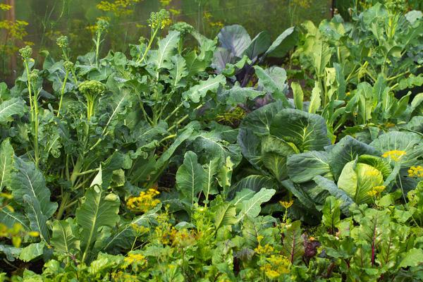Смешанные посадки овощных культур