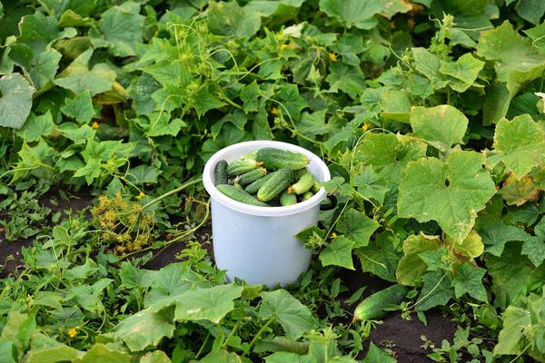 Выращивание огурцов в расстил