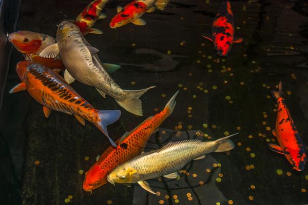 Обычно в садовый аквариум запускают рыб на один сезон
