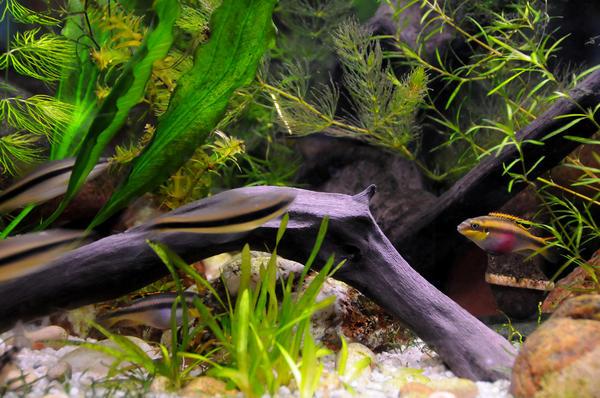 Очень хорошо смотрятся в качестве декора садового аквариума ракушки, камни, коряги
