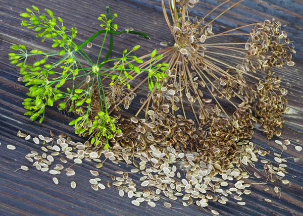 Семена укропа имеют тоже сильный аромат