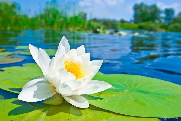 Выбор водных растений зависит от того, какой у вас водоём