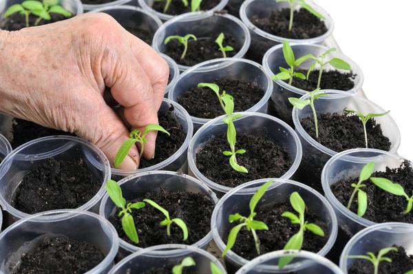 Семена и рассада - наше все