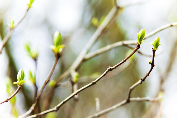 Момент пробуждения: как раскрываются почки у разных деревьев.