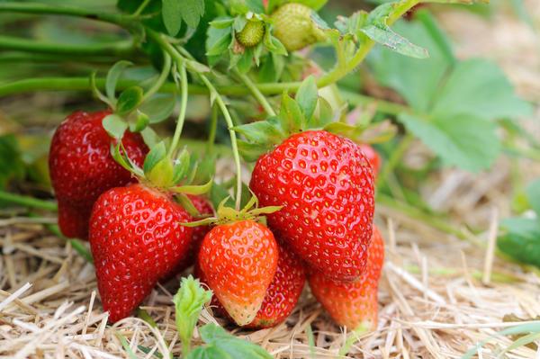 Солома хорошо подавляет сорняки, защищает ягоды от грязи и гниения.