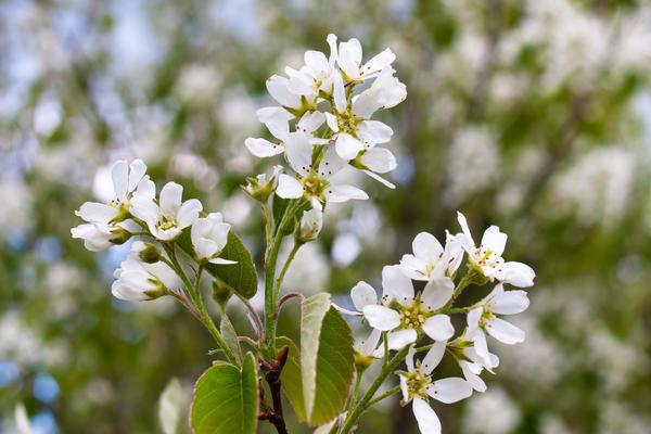 Зацветает обычно к середине мая белыми цветками