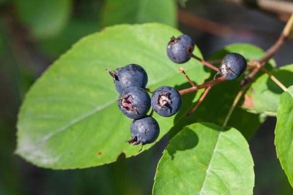 Ирга как плодовое растение выращивается с XVI столетия