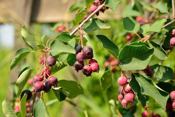 Ирга плодоносит на годичных приростах