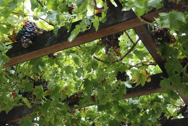 Чудесно выглядит беседка, увитая виноградом