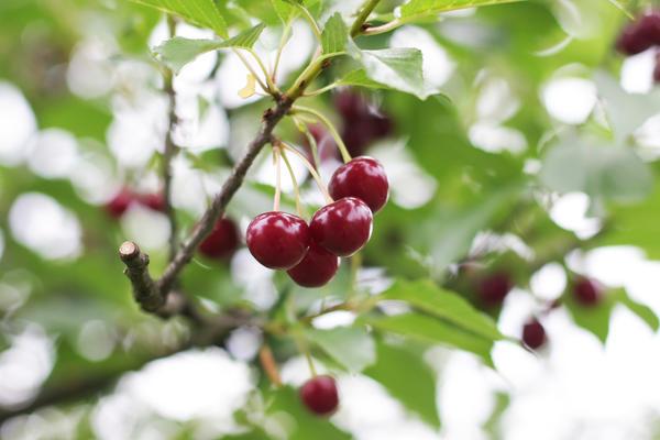 Вишня - моя самая любимая косточковая плодовая культура