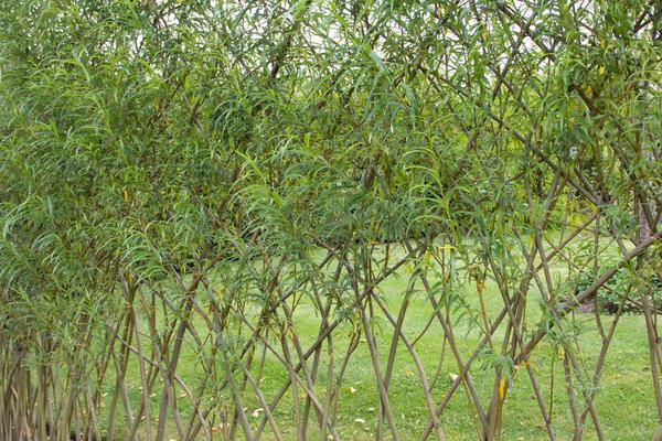 Ивовая живая изгородь. Фото с сайта rose-club.ru