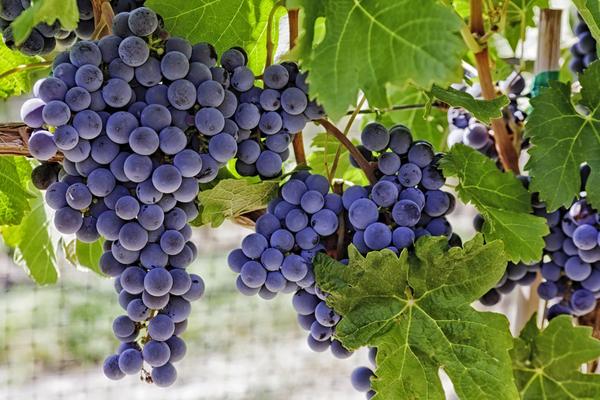 Сода поможет защитить виноград от серой гнили