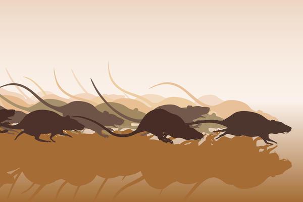 Ведомые чувством опасности, крысы и мыши уходят с облюбованных площадей