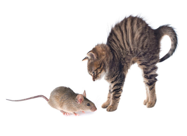Некоторые крысы и сами не прочь за кошкой поохотиться