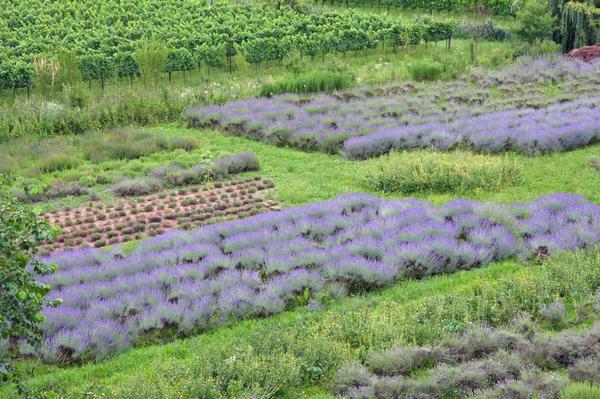 Если нужна фитотерапия - заводите настоящий аптекарский огород!