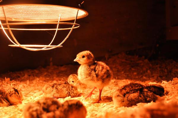 Домик для цыплят имеет собственное название - брудер