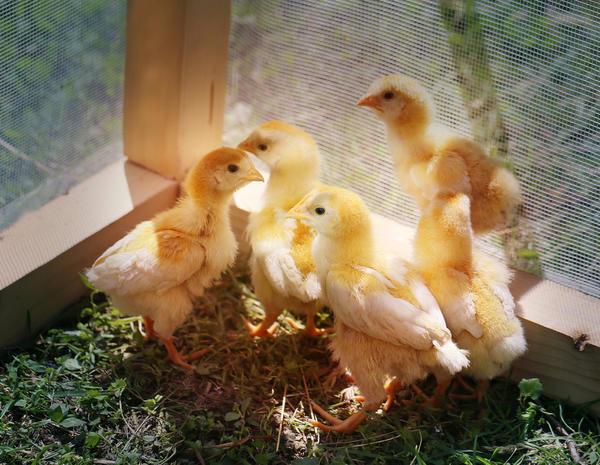 Цыплячий дом должен быть прочным