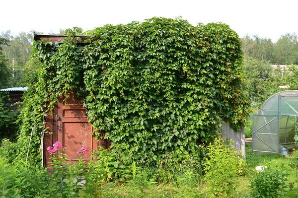 Дачный сарай, заросший диким виноградом