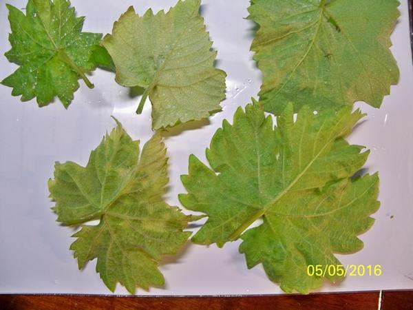 лист винограда