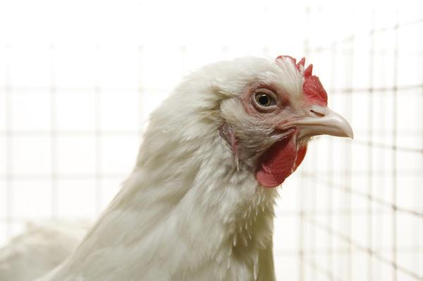 Белая курица-бройлер в клетке
