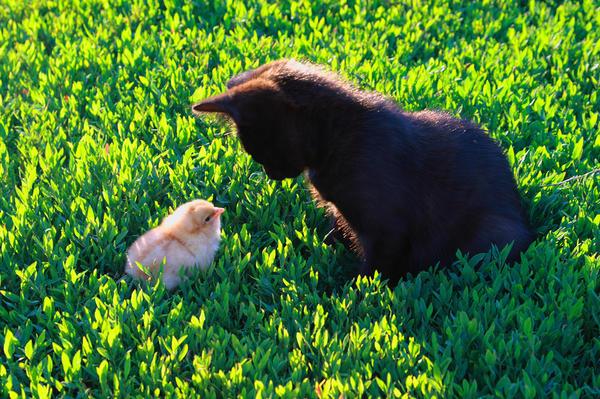 Котёнок и цыплёнок. Друзья или враги?