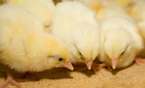 Цыплята клюют комбикорм