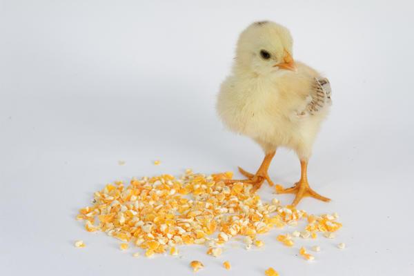 Цыпленок не взрослая курица, он зернышко пшеничное проглотить не сможет