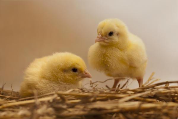 От качества подстилки зависит микроклимат в цыплятнике, в брудере