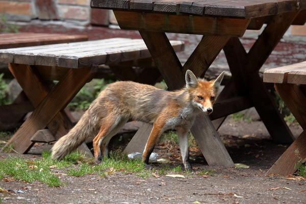 Если на участке появилась лиса и ее не пугает присутствие человека - не спешите общаться