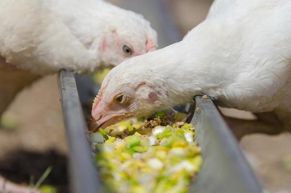 Подрастающие цыплята клюют витаминный корм