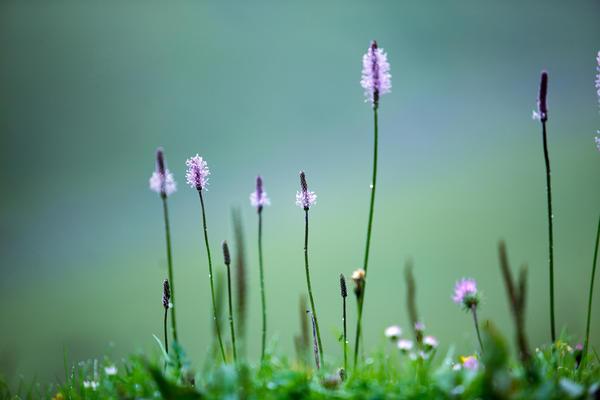 Высокие цветоносы с пушистыми соцветиями-колосьями помогут создать интересные вертикальные акценты в цветнике