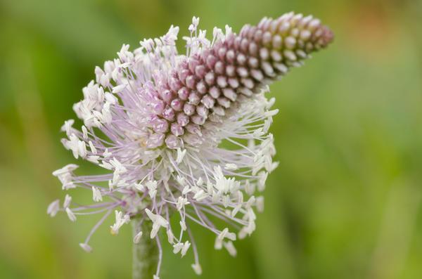 Это растение в цвету выглядит весьма привлекательно
