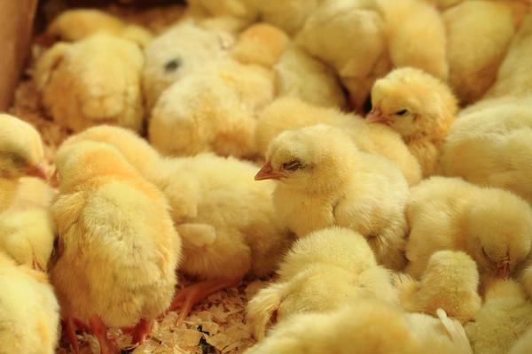 Первая реакция цыплят - желание спать