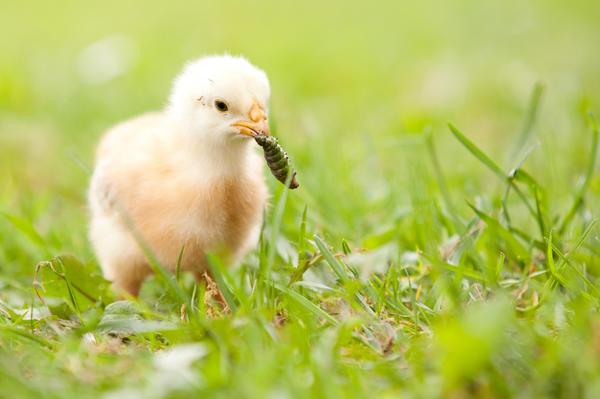 Цыплята любят вареный картофель, траву, особенно молочай