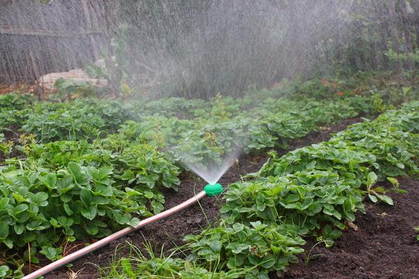 Полив садовой земляники дождеванием