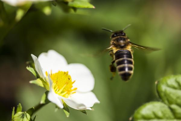 Пчела - главный опылитель