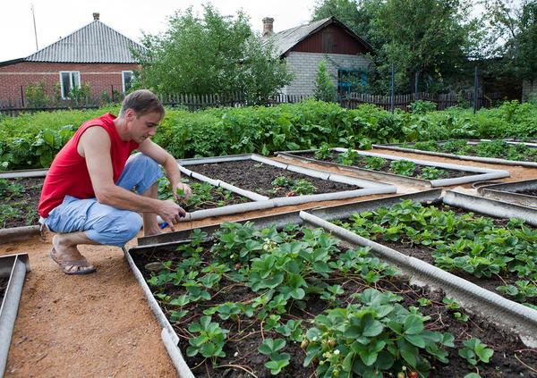 Обрезка усов садовой земляники