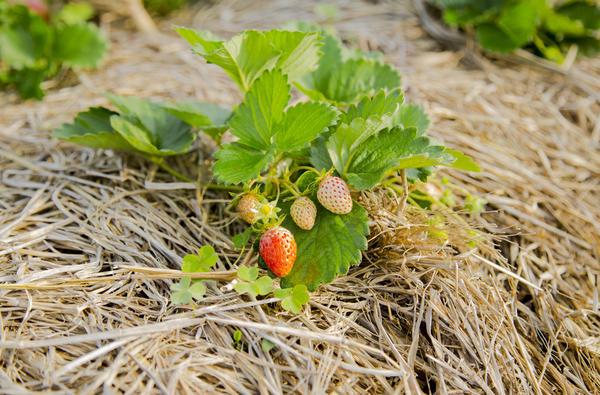 Садовая земляника замульчирована соломой - чистые ягоды
