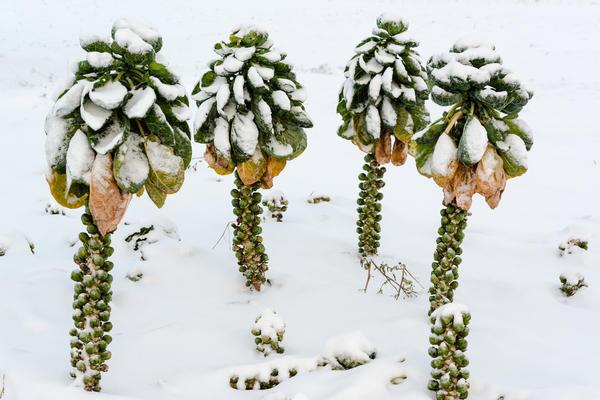 Брюссельская капуста под снегом
