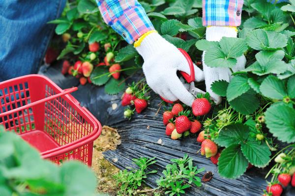 Сбор урожая садовой земляники с помощью ножниц