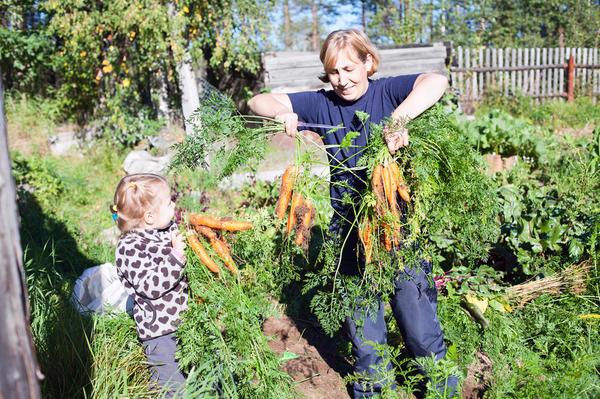 Женщина с детьми собирает морковь на огороде